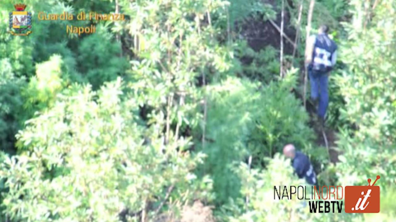 Marijuana, la Guardia di Finanza scopre tre piantagioni: 100 alberi tra Giugliano, Qualiano e Casalnuovo. Video