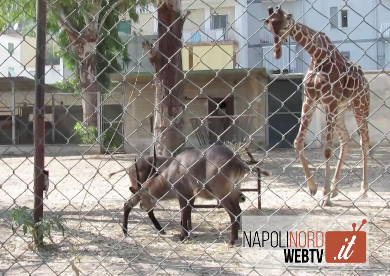 Zoo di Napoli, viaggio nella Savana ai piedi del Vesuvio. Video