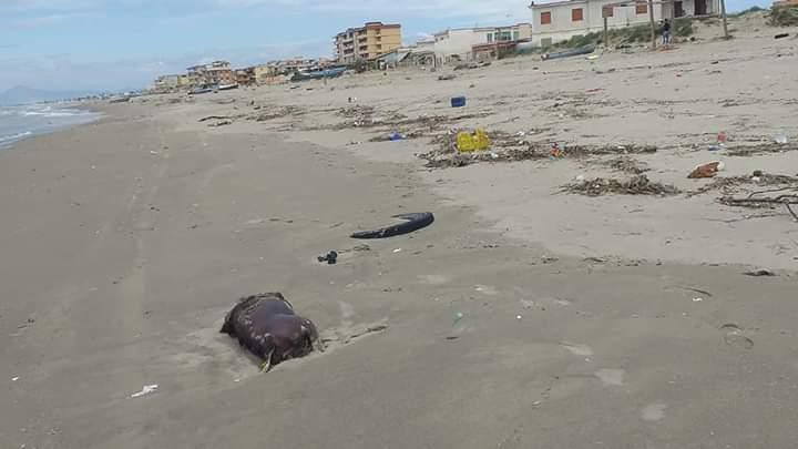 Licola Mare, carcasse di animali e rifiuti in spiaggia