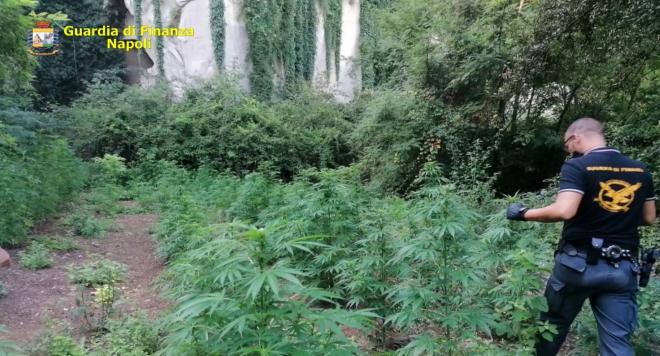 Scoperta piantagione di droga a Giugliano, la guardia di finanza arresta due persone